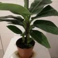 Hübsche Pflanzen: Banana, Kastanie mit 3 Nüssen