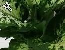 Hübsche Pflanzen: Banana, Kastanie mit 3 Nüssen - Vorschaubild 4